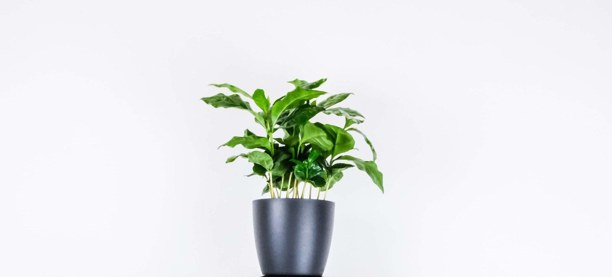 Kaffeepflanze in Topf