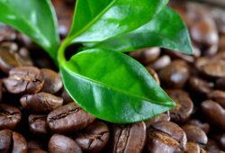 Kaffeepflanze mit Kaffeebohnen