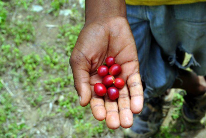 Blue Mountain Kaffee ist einer der exklusivsten Kaffeesorten