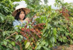 Frau bei Kaffeeernte