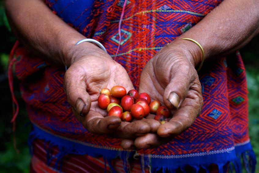 Gepflückte rote Kaffeekirschen in Hand