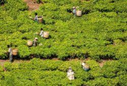 Kaffeeplantage fair bauer