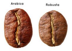 Vergleich Arabica Kaffeebohne und Robusta Kaffeebohne