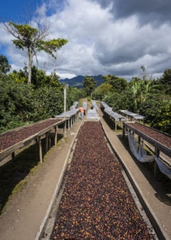 Kaffeeernte und Kaffeeaufbereitung auf Kaffee Plantage