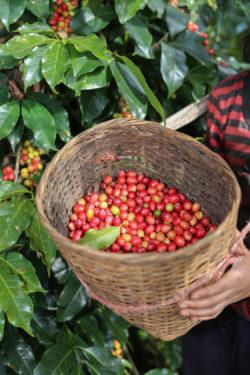 Kaffee pflücken von Hand