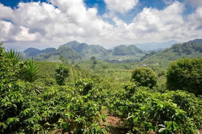 Hochlandkaffee auf Kaffee Plantage