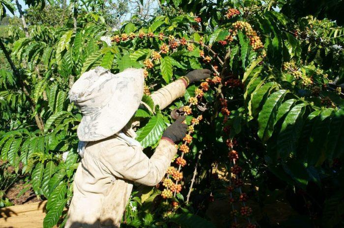 Kaffee-Farm Hochlandkaffe