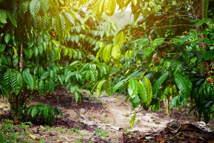 Kaffee im Garten oder Zuhause anbauen