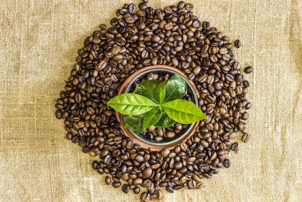 Kaffee zu Hause pflanzen
