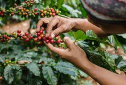 Frau schaut nach kaffeekirsche kaffeepflanze