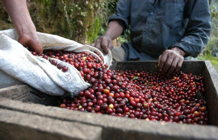 Kleinanbau Kaffee