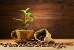 kaffeebaum wächst aus einer Kaffeetasse mit kaffeebohnen