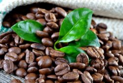 Arabica Kaffeepflanze Bohnen