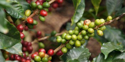 Kaffeekirschen an kaffeebaum rot und grün