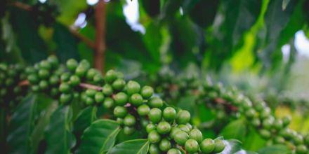 Kaffeepflanze-Zweig-mit-kaffeekirschen