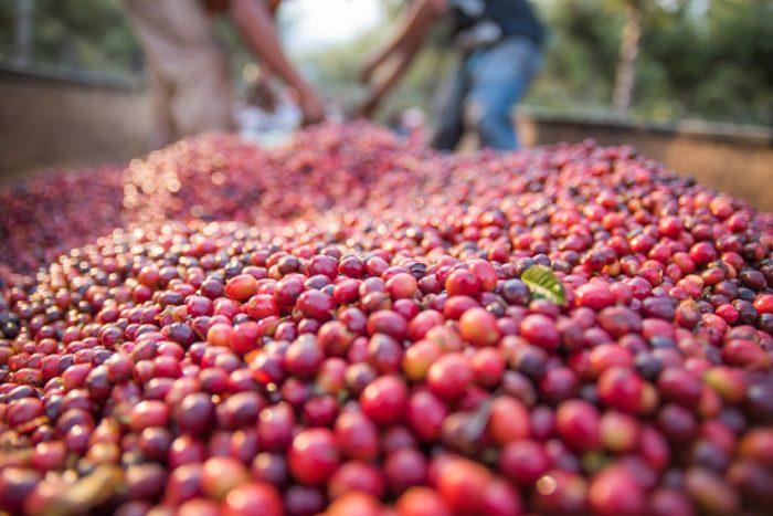 Viele Kaffeekirschen Kaffee-Anbaugebiete