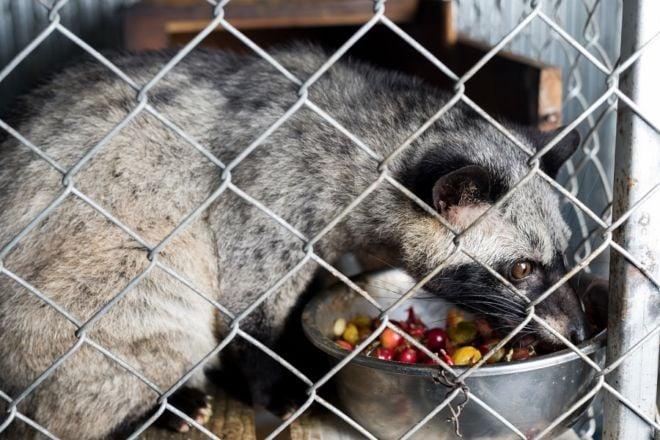 Zibetkatze eingesperrt im Käfig mit Katzenkaffee