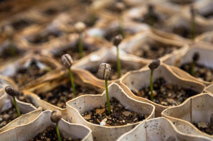 Einzelne Samen der Kaffeepflanze