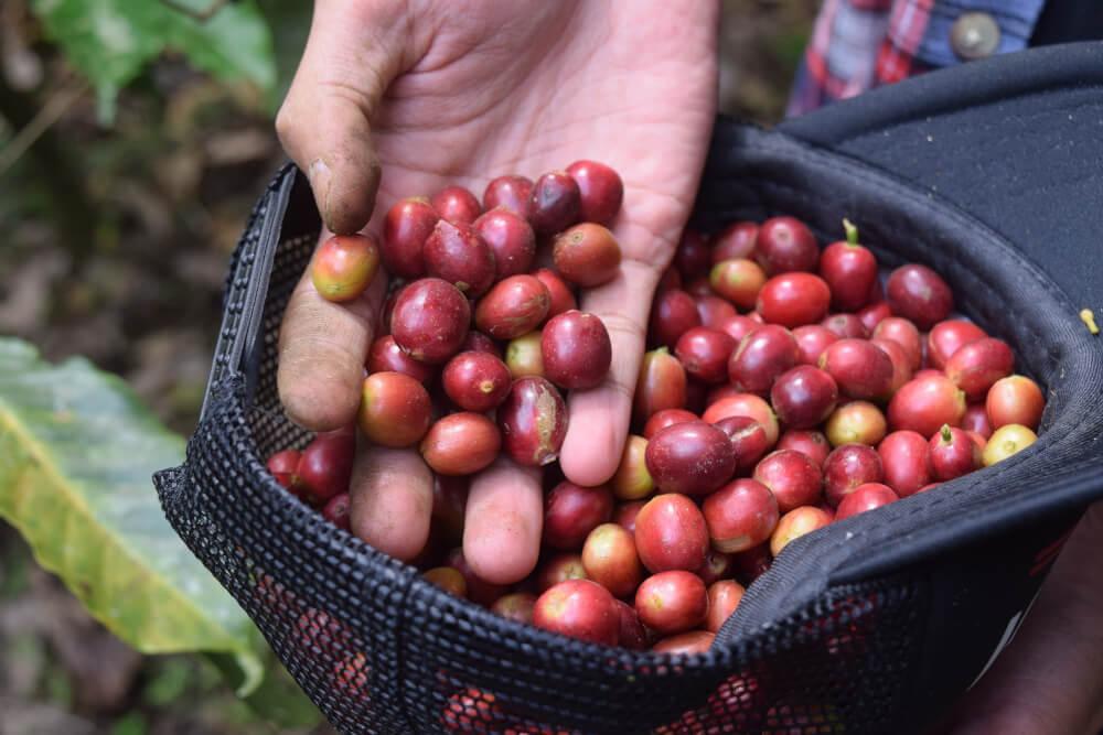 Rohe Arabica Kaffeekirschen