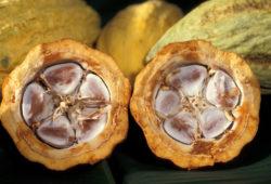 Rohe Kakaofrucht aufgeschnitten, Innenansicht