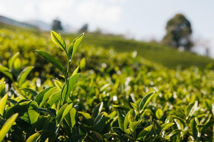 Teepflanze auf einer Plantage